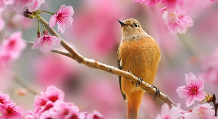 image of bird singing amongst spring blossom